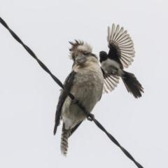 Dacelo novaeguineae (Laughing Kookaburra) at Higgins, ACT - 30 Nov 2019 by Alison Milton