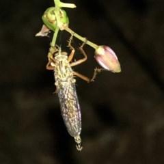 Cerdistus sp. (genus) (Robber fly) at Aranda, ACT - 30 Nov 2019 by Jubeyjubes