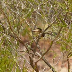 Malurus (Leggeornis) lamberti at Brogo, NSW - 30 Nov 2019