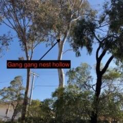 Callocephalon fimbriatum (Gang-gang Cockatoo) at Yarralumla, ACT - 30 Nov 2019 by Ratcliffe