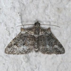 Phrissogonus laticostata at Ainslie, ACT - 27 Nov 2019