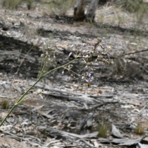 Dianella sp. aff. longifolia (Benambra) at Deakin, ACT - 1 Dec 2019
