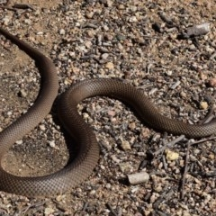 Pseudonaja textilis (Eastern Brown Snake) at Mount Taylor - 18 Sep 2017 by venky2k11