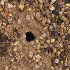Iridomyrmex purpureus (Meat Ant) at Bullen Range - 1 Dec 2019 by Jubeyjubes