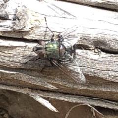 Rutilia (Donovanius) sp. (genus & subgenus) (A Bristle Fly) at Bullen Range - 1 Dec 2019 by Jubeyjubes