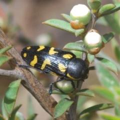 Castiarina octospilota (8-spot jewel beetle) at Black Mountain - 1 Dec 2019 by Harrisi