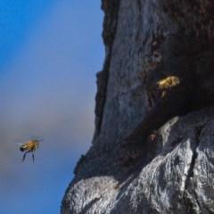 Apis mellifera (European honey bee) at Callum Brae - 9 Nov 2019 by Marthijn