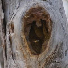 Apis mellifera (European honey bee) at Mount Taylor - 30 Sep 2019 by Marthijn