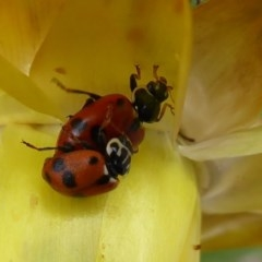 Hippodamia variegata (Spotted Amber Ladybird) at ANBG - 1 Dec 2019 by Christine