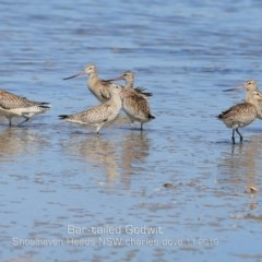 Limosa lapponica (Bar-tailed Godwit) at Jervis Bay National Park - 10 Nov 2019 by Charles Dove