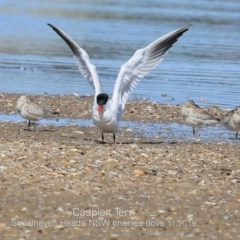 Hydroprogne caspia (Caspian Tern) at Jervis Bay National Park - 10 Nov 2019 by Charles Dove