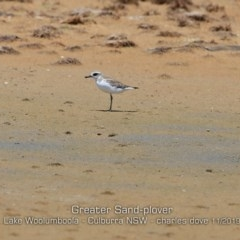 Charadrius leschenaultii (Greater Sandplover) at Jervis Bay National Park - 10 Nov 2019 by Charles Dove