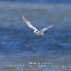 Sternula albifrons (Little Tern) at Jervis Bay National Park - 10 Nov 2019 by Charles Dove