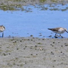 Calidris (Ereunetes) ruficollis (Red-necked Stint) at Jervis Bay National Park - 10 Nov 2019 by Charles Dove