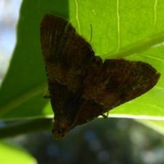 Endotricha ignealis (A Pyralid moth) at ANBG - 30 Nov 2019 by Christine