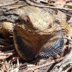 Pogona barbata (Eastern Bearded Dragon) at ANBG - 1 Dec 2019 by Christine