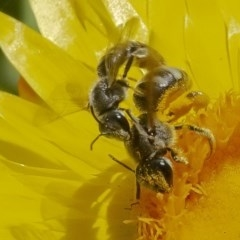 Lasioglossum (Chilalictus) sp. (genus & subgenus) (Halictid bee) at ANBG - 27 Nov 2019 by WHall