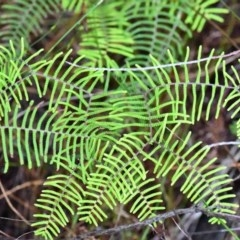 Gleichenia dicarpa (Wiry Coral Fern) at South Pacific Heathland Reserve - 13 May 2019 by Nicholas de Jong