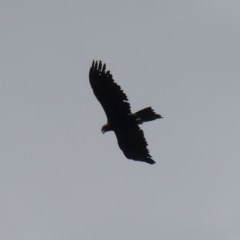 Aquila audax (Wedge-tailed Eagle) at Mount Ainslie - 2 Dec 2019 by WalterEgo