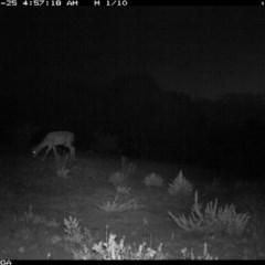 Dama dama (Fallow Deer) at Illilanga & Baroona - 24 Nov 2019 by Illilanga