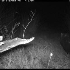 Vombatus ursinus (Wombat) at Illilanga & Baroona - 29 Oct 2019 by Illilanga