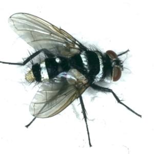 Trigonospila sp. (genus) at Ainslie, ACT - 25 Oct 2019