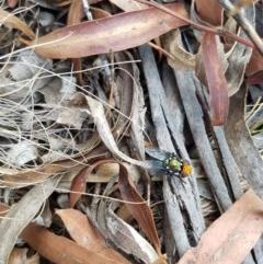 Amenia sp. (genus) (Yellow-headed Blowfly) at Mongarlowe River - 2 Dec 2019 by RichardMilner