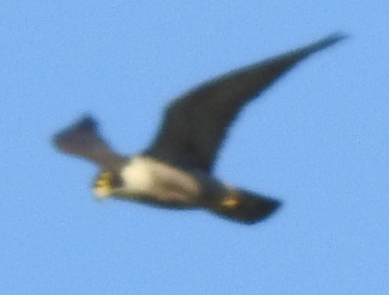 Falco peregrinus at Berry, NSW - 27 Nov 2019