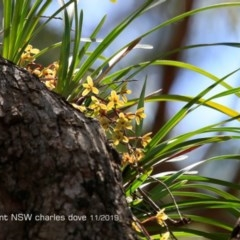 Cymbidium suave (Snake Orchid, Boat Lip Orchid) at Burrill Lake, NSW - 20 Nov 2019 by Charles Dove