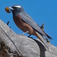 Artamus superciliosus (White-browed Woodswallow) at Namadgi National Park - 2 Dec 2019 by Marthijn