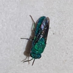 CHRYSIDIDAE sp. (family) (Cuckoo wasp or Emerald wasp) at Berry, NSW - 3 Dec 2019 by Andrejs