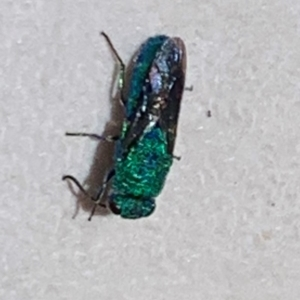 CHRYSIDIDAE sp. (family) at Berry, NSW - 3 Dec 2019
