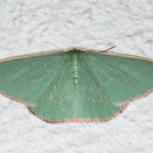 Chlorocoma dichloraria at Ainslie, ACT - 27 Oct 2019
