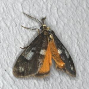 Anestia (genus) at Ainslie, ACT - 2 Nov 2019