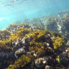 Unidentified Brown algae (TBC) at Bournda Environment Education Centre - 27 Oct 2019 by Harrison