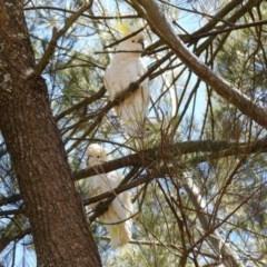 Cacatua galerita (Sulphur-crested Cockatoo) at Googong Reservoir - 3 Dec 2019 by RodDeb