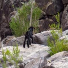 Capra hircus (Goat) at Gigerline Nature Reserve - 26 Nov 2019 by Jek