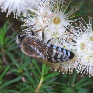 Bembix sp. (genus) at ANBG - 3 Dec 2019