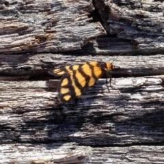 Asura lydia (Lydia Lichen Moth) at Namadgi National Park - 3 Dec 2019 by KMcCue