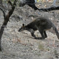 Wallabia bicolor (Swamp Wallaby) at Red Hill Nature Reserve - 3 Dec 2019 by Ct1000