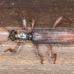 Eunatalis sp. (Genus) (TBC) at Rosedale, NSW - 16 Nov 2019 by jbromilow50