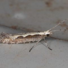 Plutella xylostella (Diamondback Moth) at Kambah, ACT - 4 Dec 2019 by Marthijn