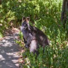 Wallabia bicolor (Swamp Wallaby) at Ainslie, ACT - 3 Dec 2019 by fledgeling