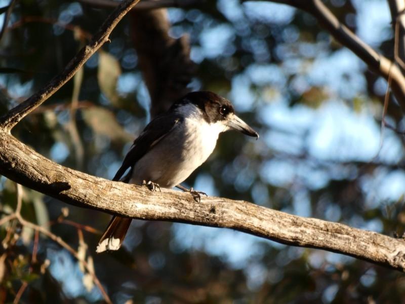 Cracticus torquatus at Red Hill Nature Reserve - 4 Dec 2019