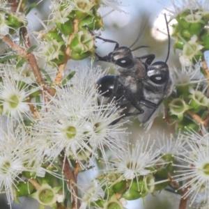 Sphex sp. (genus) at ANBG - 3 Dec 2019