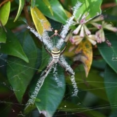 Argiope keyserlingi (St Andrew's Cross Spider) at Ulladulla, NSW - 4 Dec 2019 by CBrandis