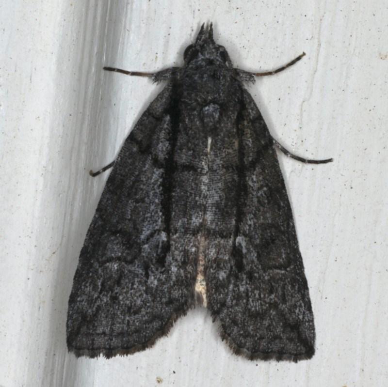 Prorocopis group (genus) at Ainslie, ACT - 21 Nov 2019