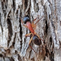 Camponotus nigriceps (Black-headed sugar ant) at Mount Painter - 4 Dec 2019 by CathB