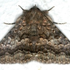 Eudesmeola lawsoni (Lawson's Night Moth) at Ainslie, ACT - 23 Nov 2019 by jbromilow50
