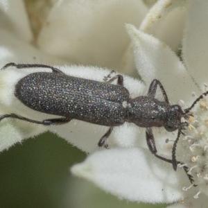 Eleale sp. (genus) at ANBG - 4 Dec 2019